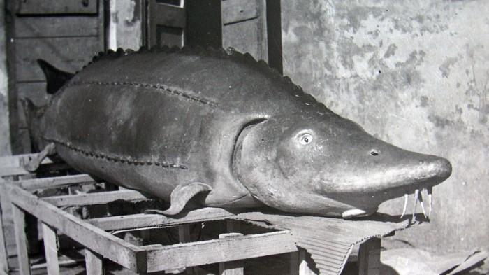11_storione-finto-per-il-documentario-Pescatori-di-storioni