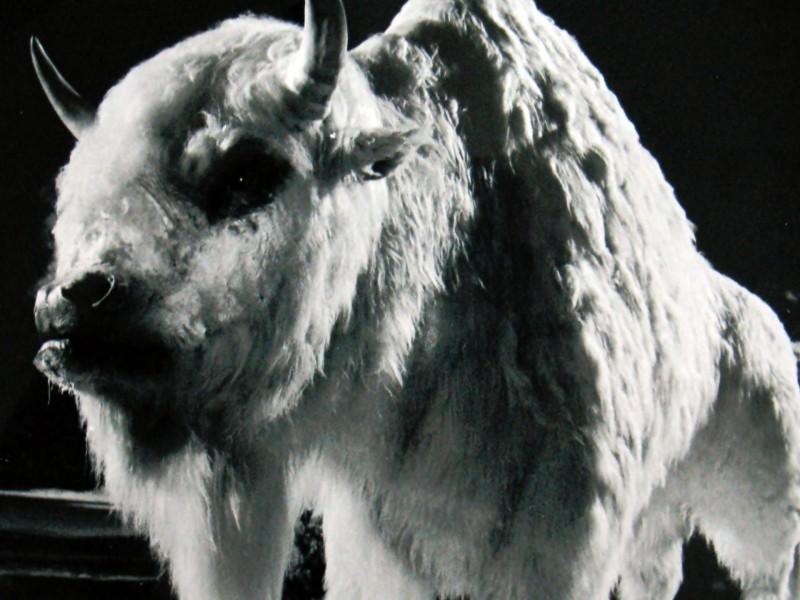 Il Bufalo Bianco
